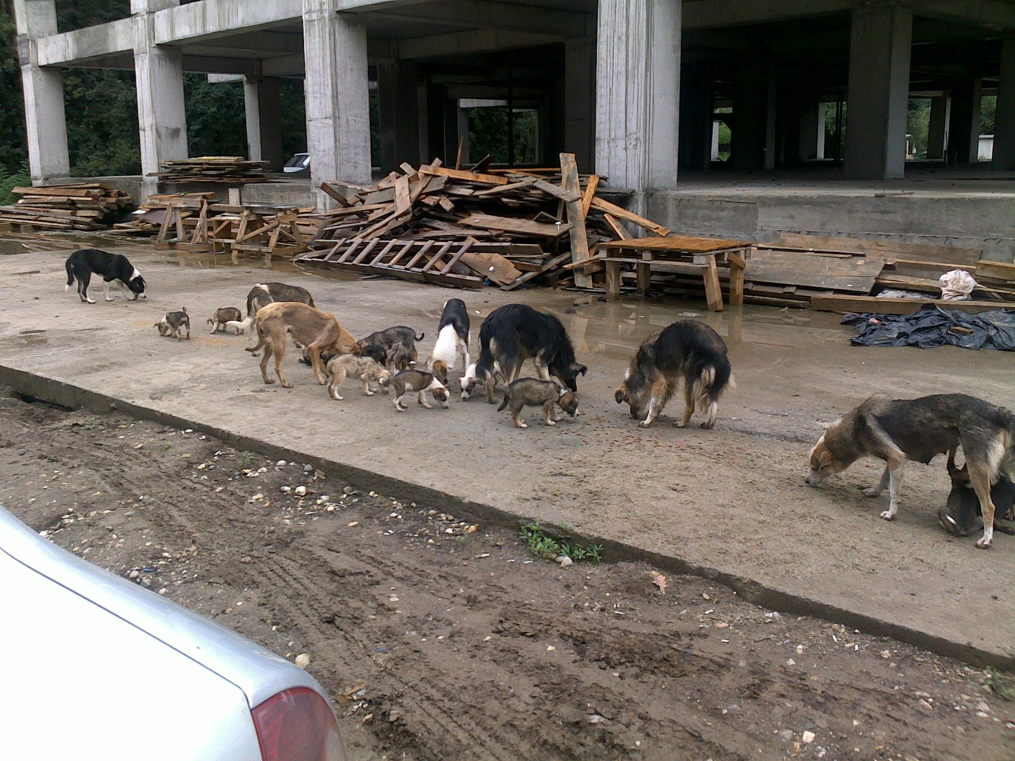 group_of_street_dogs_from_michal