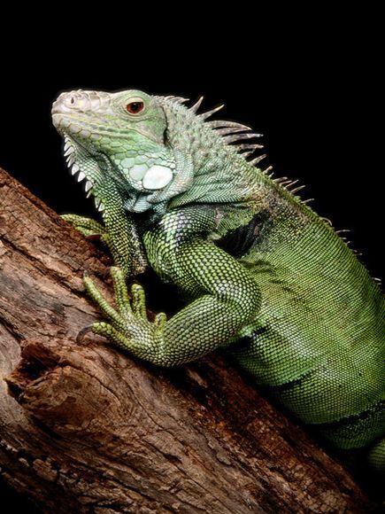 green-iguana_563_600x450.jpg